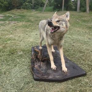 Чучела, Чучело Волка